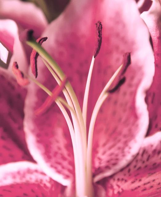 enbildomdagen2014 140224 njutning, rosa blomma