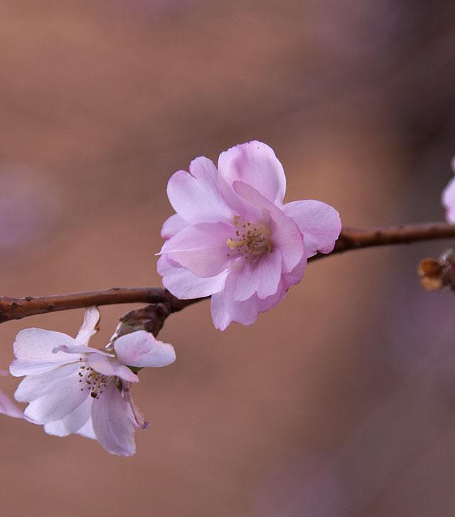 körsbärsblomma IMG_5065