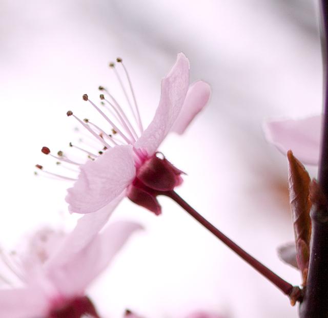 körsbärsblommor IMG_6211