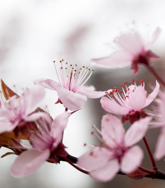körsbärsblommor IMG_6212
