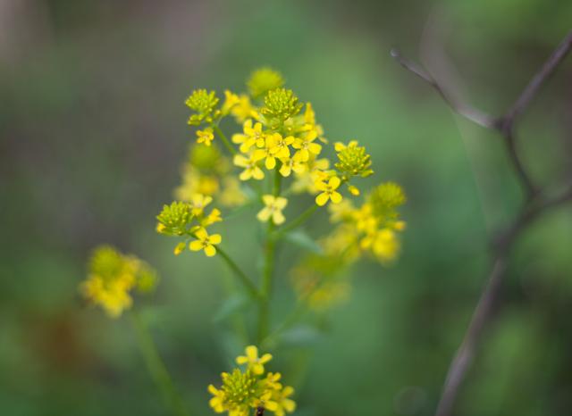 gul-blommaIMG_6772
