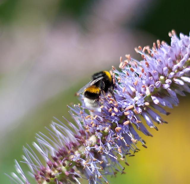 botaniska-humla-lila-blommaIMG_7173