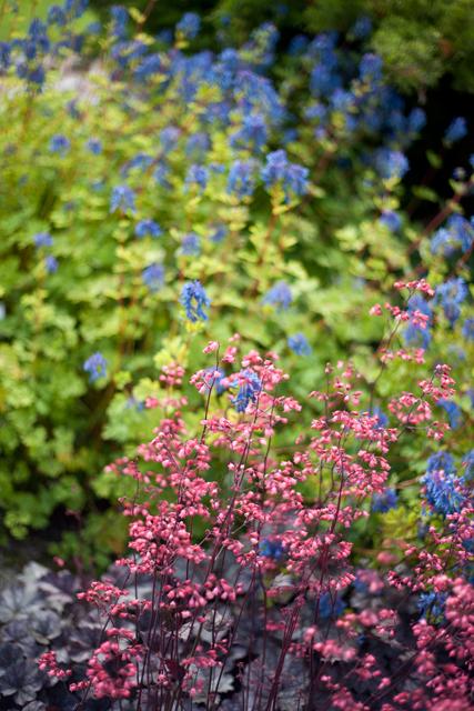botaniska-lila-rosa-blommaIMG_7161