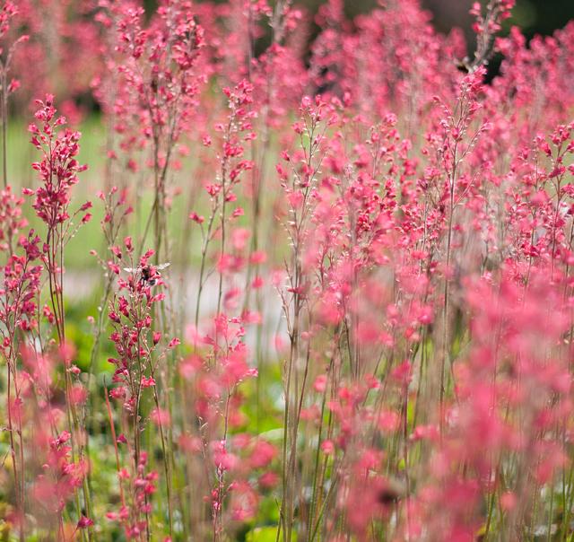 botaniska-rosa-blommaIMG_7164