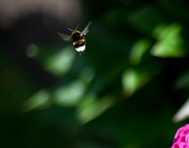 humla-botaniskaIMG_7114