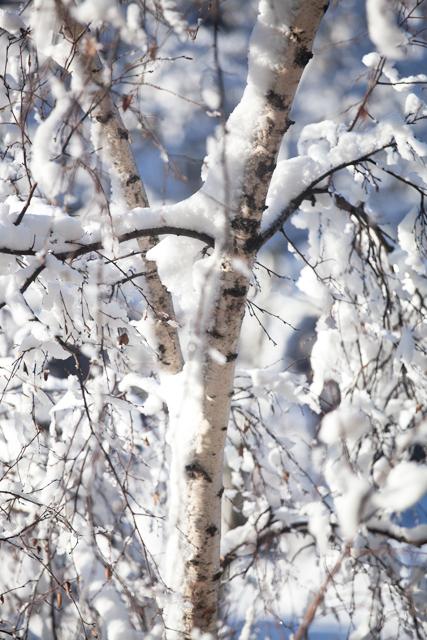 björk-snö