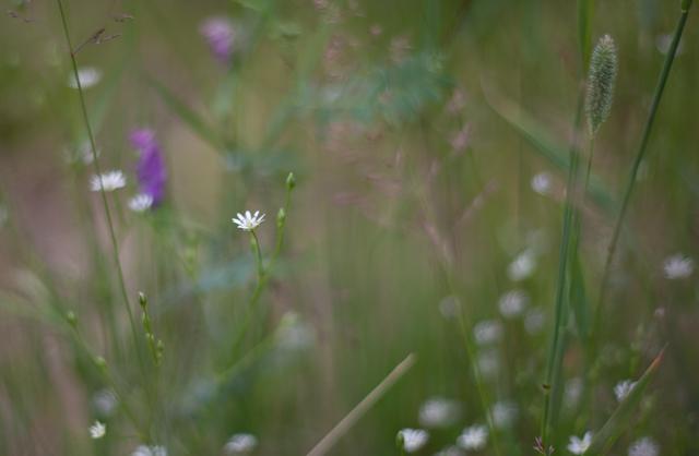 blommor-i-gräs