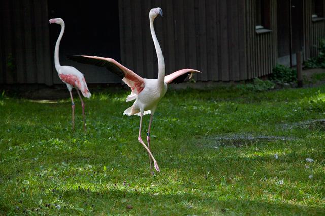 dansande-flamingo