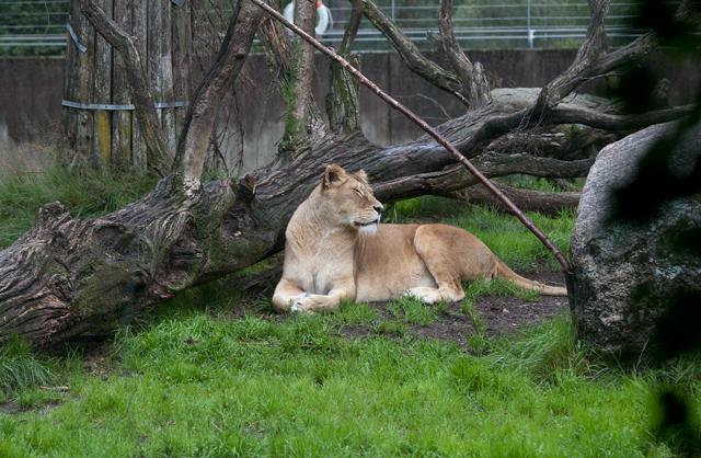 lejon-vilar-zoo