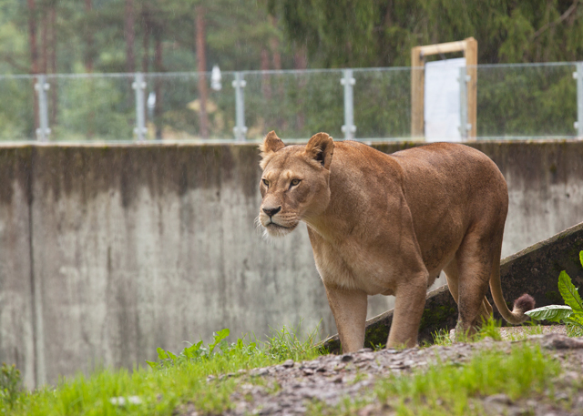 lejonhona-zoo