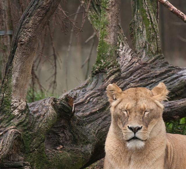 sovande-lejonhona-zoo