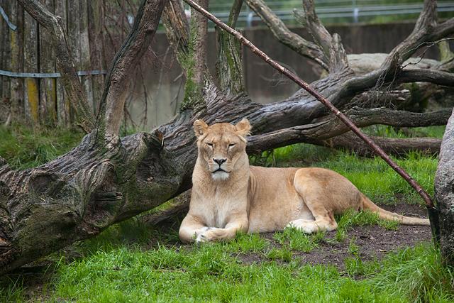 stolt-lejonhona-zoo