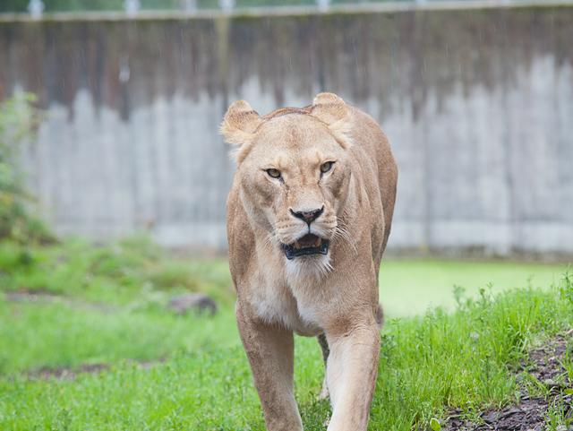 surt-lejon-zoo