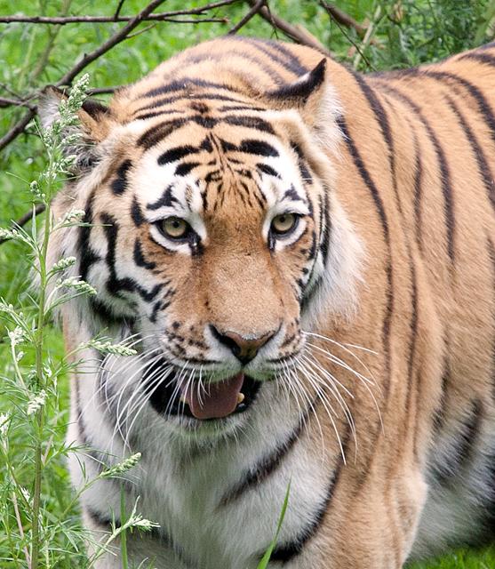 tiger-narbild-zoo