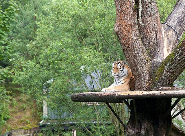 tiger-spanar-zoo
