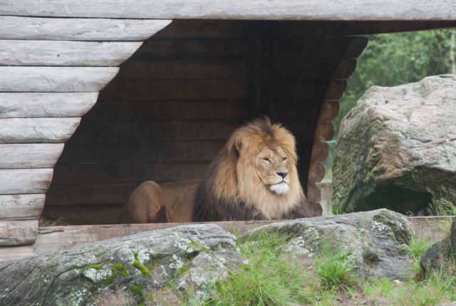 vilande-lejon-zoo